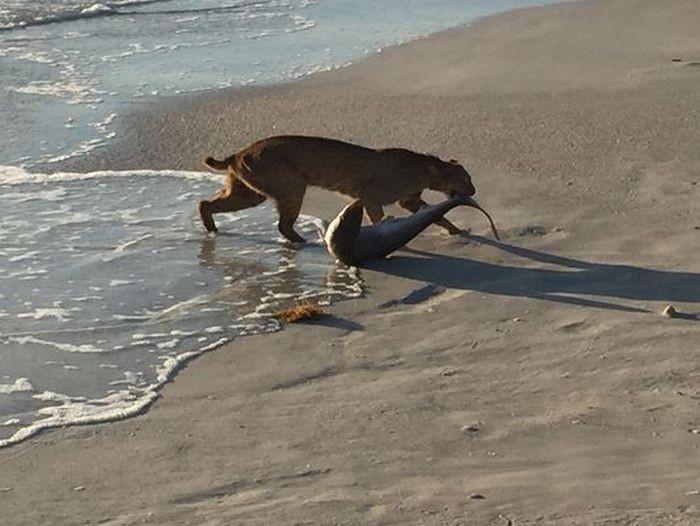 Во Флориде рысь выловила акулу из океана