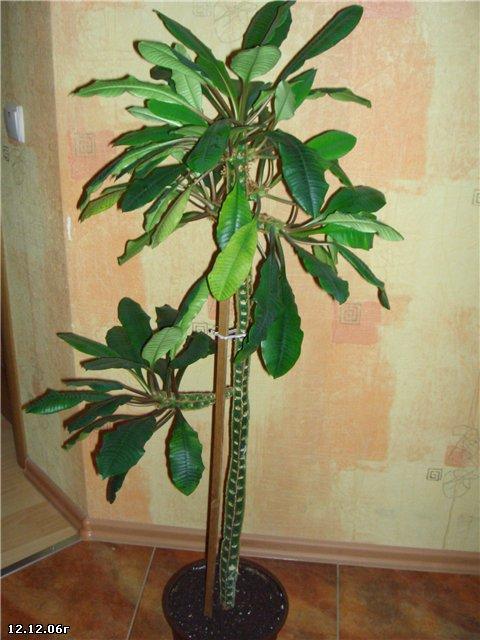 Комнатные растения молочай уход в домашних условиях фото