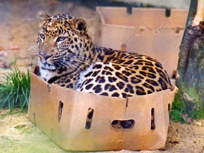 Леопард, поместившийся в бананку.