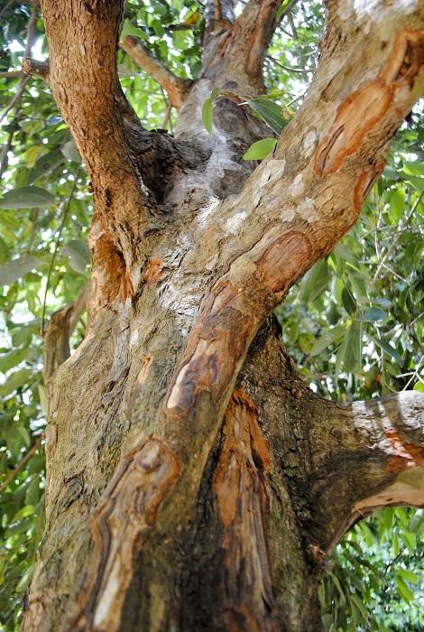 Корица – это высушенная кора дерева.