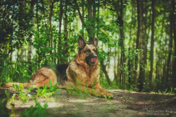 Немецкая овчарка - красивые снимки