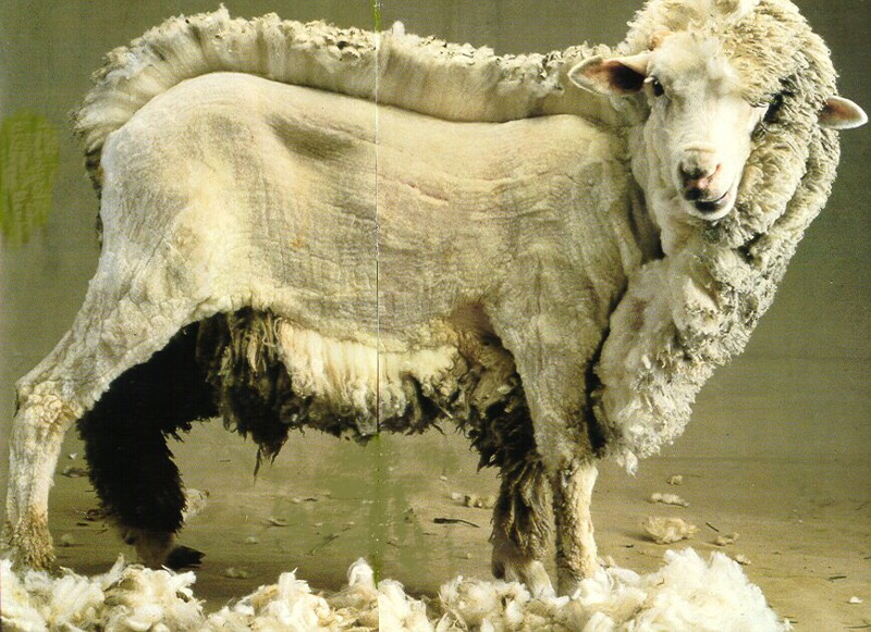20. Овца в процессе стрижки. наш мир, удивительные фотографии