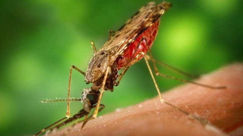 10. Комар. животные, опасные животные