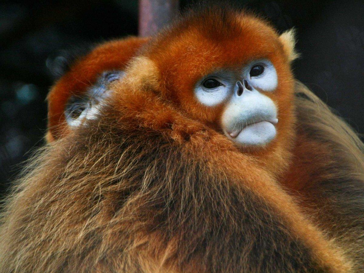 play-with-the-golden-monkeys-in-shennongjia