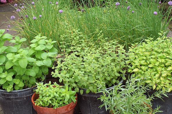 Как улучшить всхожесть пряных трав