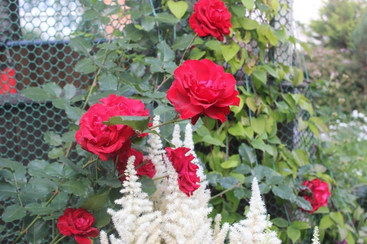 С какими цветами сочетаются розы на клумбе фото