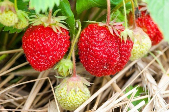 Клубника: как продлить плодоношение