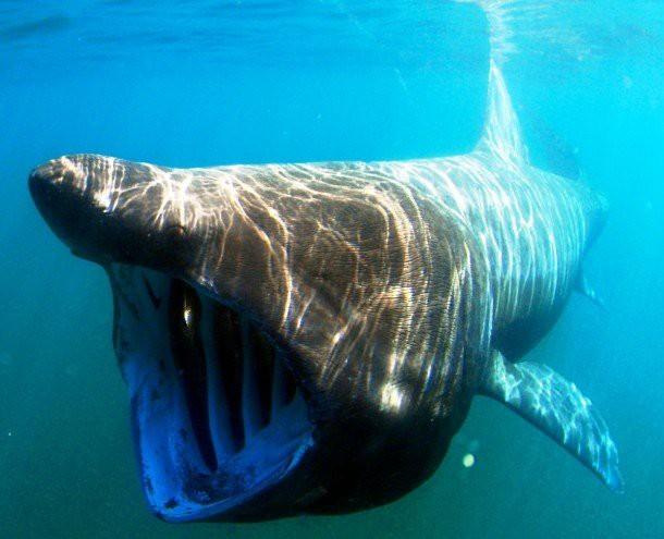 12. Гигантская акула (Basking shark) животные, факты