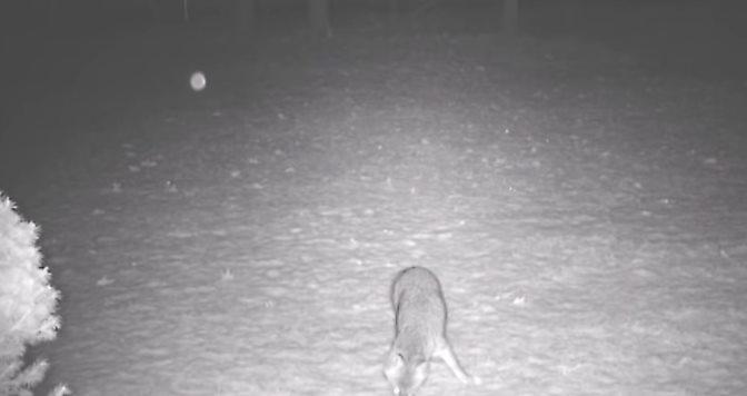 Быстро летящий НЛО-орб напугал лису