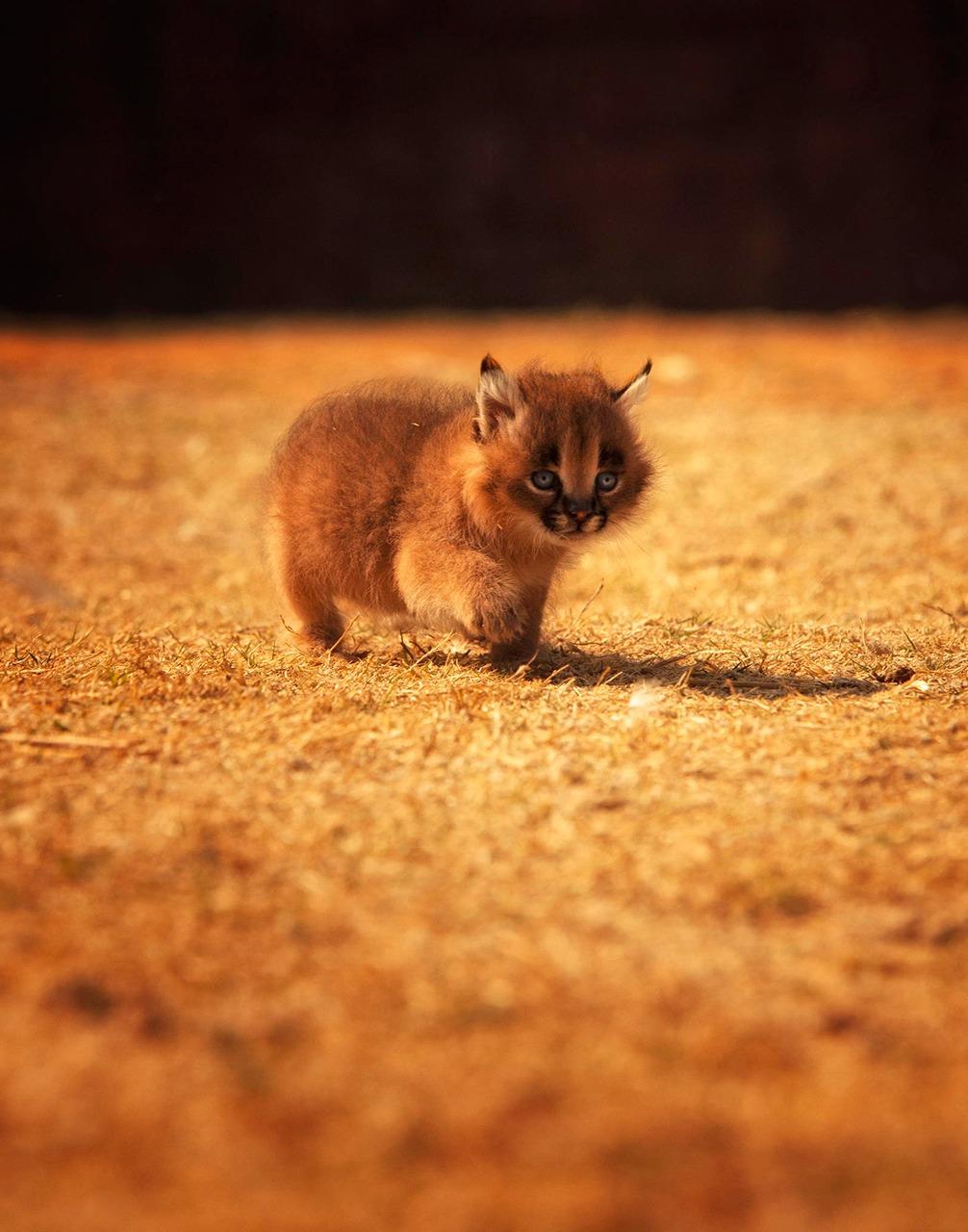 Котенок рыси в мире, жизнь, люди, фотографии