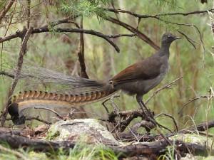 Лирохвост или большая птица-лира (из мира интересного)