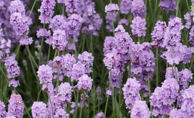 melissa Lilac