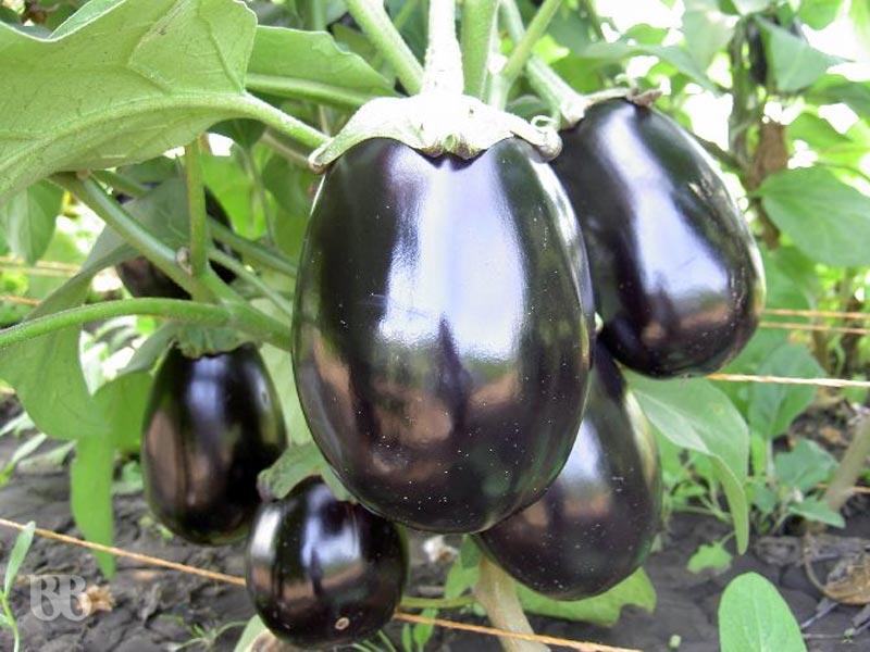 Баклажаны и перцы – как правильно выбрать семена на рассаду
