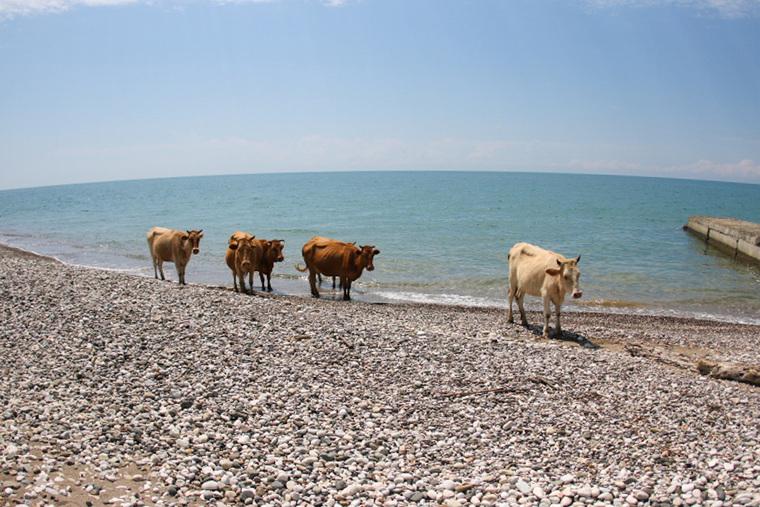 Страна коров и «мерседесов». Что такое отдыхать в Абхазии