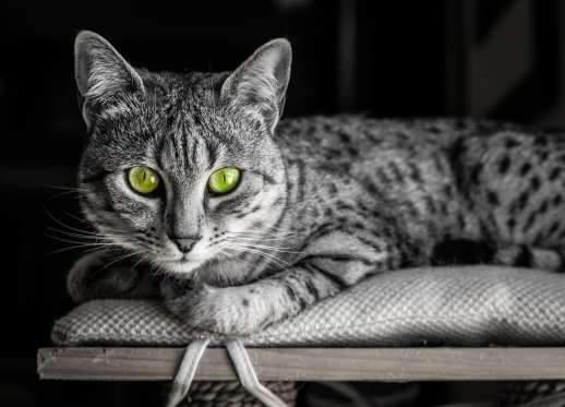 Black and White image of an Egyptian Mau cat with startling green eyes looking straight at camera