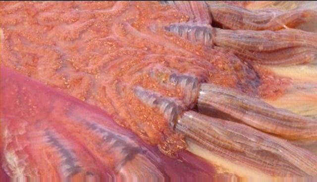 Гигантскую экзотическую медузу вымыло на берег штата Вашингтон