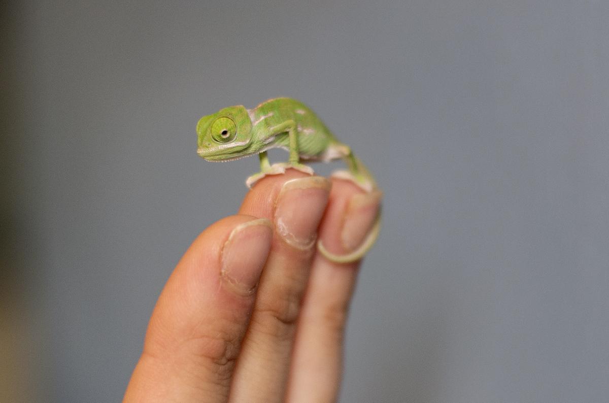 chameleon 08 Крохи хамелеоны — это новые котики