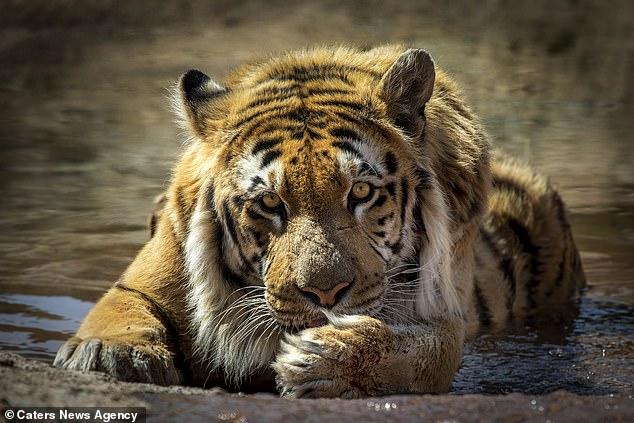 Тигр, спасенный из «худшего …