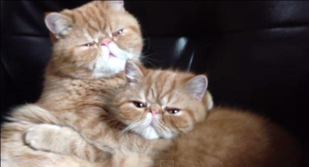 Видео пылких кошачьих «поцелуев»