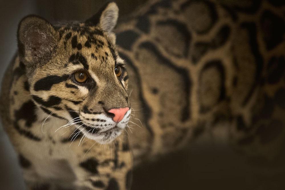 2. Дымчатый леопард. люди, мир, удивительные фотографии