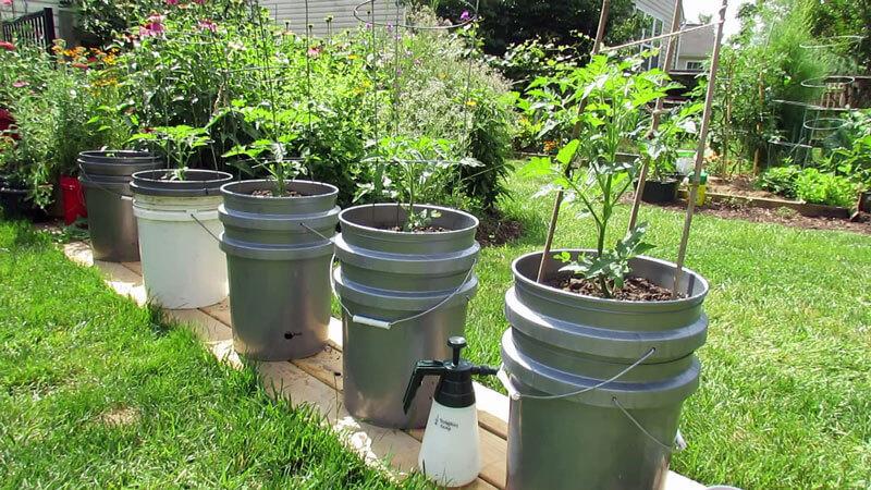 Как вырастить ранние крупные томаты в ведре