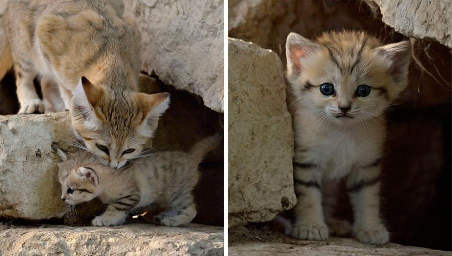 Даже когда взрослеют, эти кошки выглядят как котята