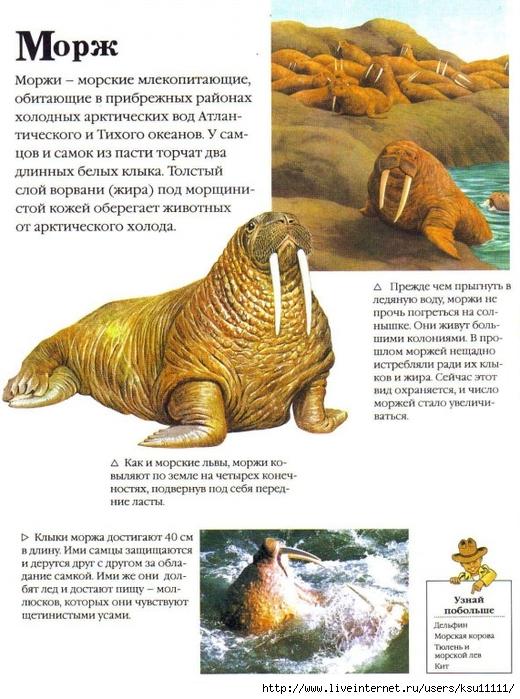 Доклад про моржа животного