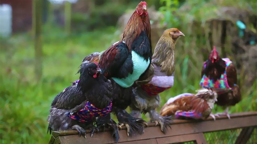 """""""Важно, чтобы люди знали о плохих условиях, в которых живут куры и о том, что у них не остается перьев, когда они выходят на """"пенсию"""""""", - говорит Никола. вязание, жилет, курица"""