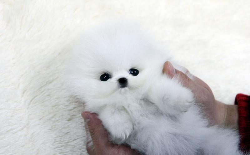 17 очаровательных щенков, похожих на плюшевых мишек  игрушка, мишка, щенки