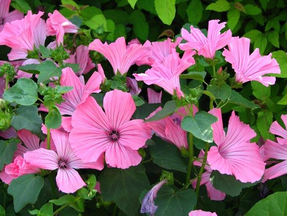Цветы лаватера многолетняя
