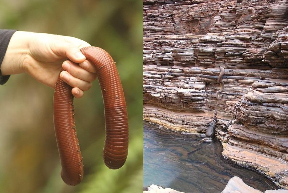 Австралийский гигантский дождевой червь австралия, животные