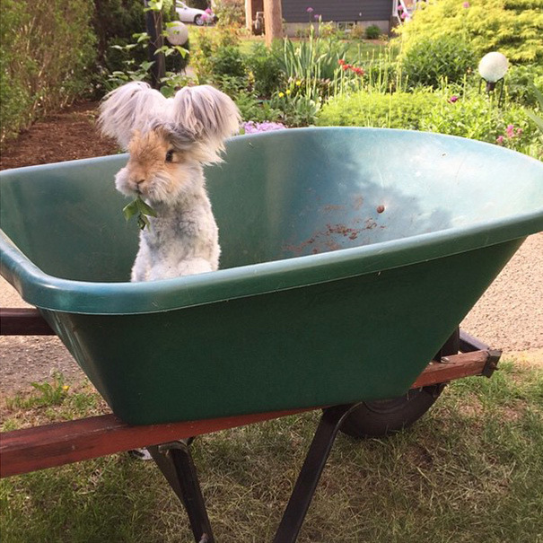 haircut-rabbit-angora-wally-8