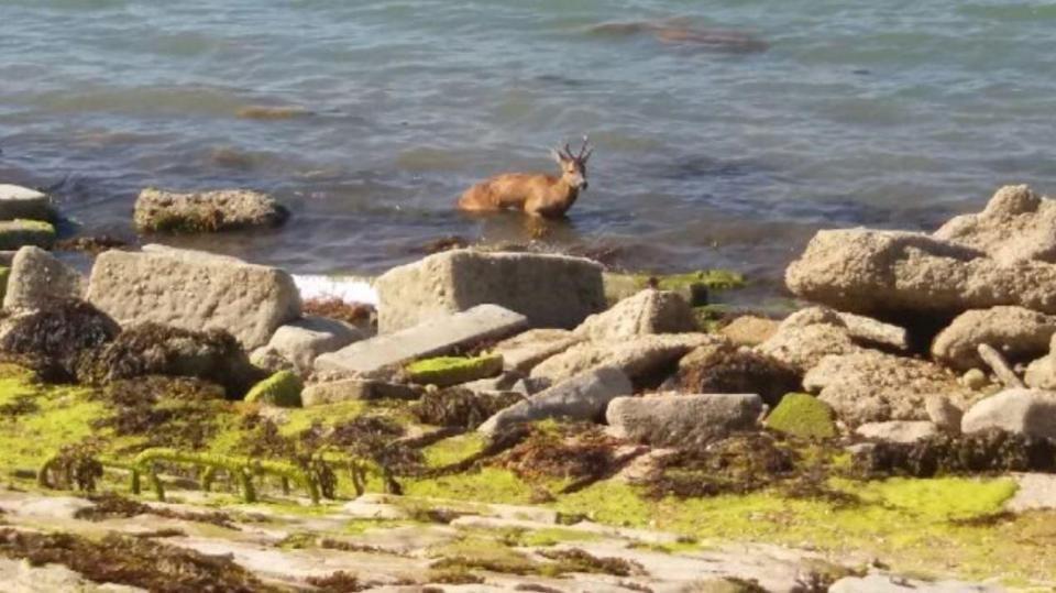 Вот олени! Отдыхающие решили сами спасти тонущее животное и утопили его