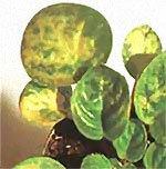На листьях сенполии от полива холодной водой появиляются желтовато-серые пятна