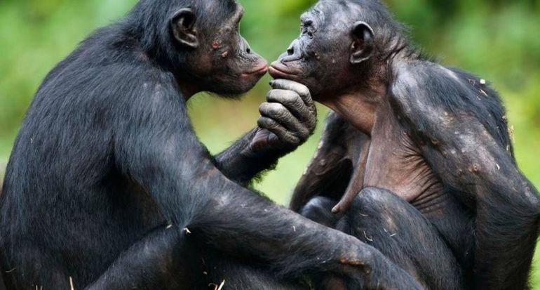 Маменькин сынок: как самки бонобо устраивают личную жизнь своих сыновей