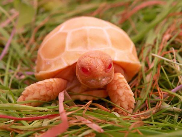 15. Черепаха-альбинос ниндзя, питомцы, черепахи
