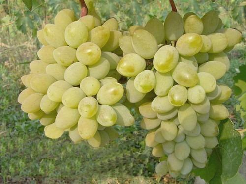 Виноград Тимур: описание и тонкости ухода