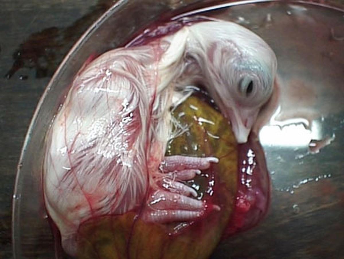Как из яйца развивается курица курица, развивается, яйцо
