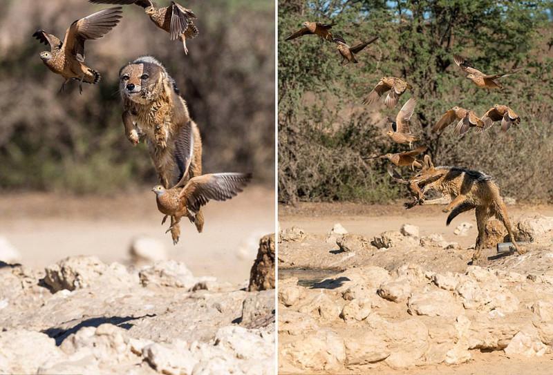 Полет шакала во время охоты на рябчиков