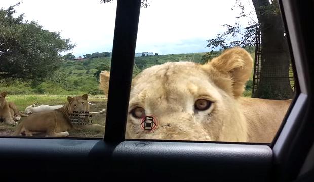 Львы умеют открывать двери