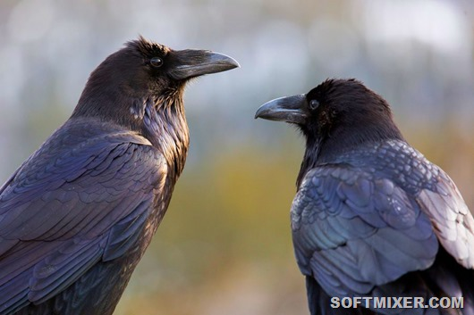 Наши загадочные соседи – вороны