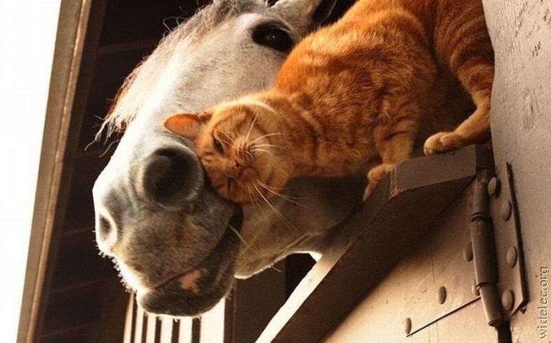 Любовь кота и лошади
