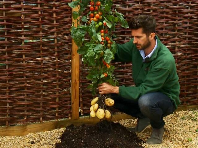 Гибрид помидора и картофеля дача, овощи