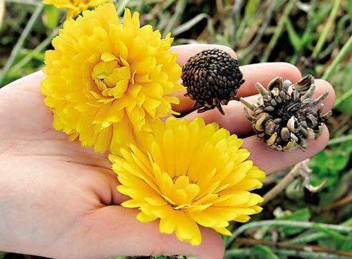 Сколько хранятся семена цветов