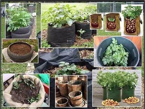 Выращивание картофеля дома 27