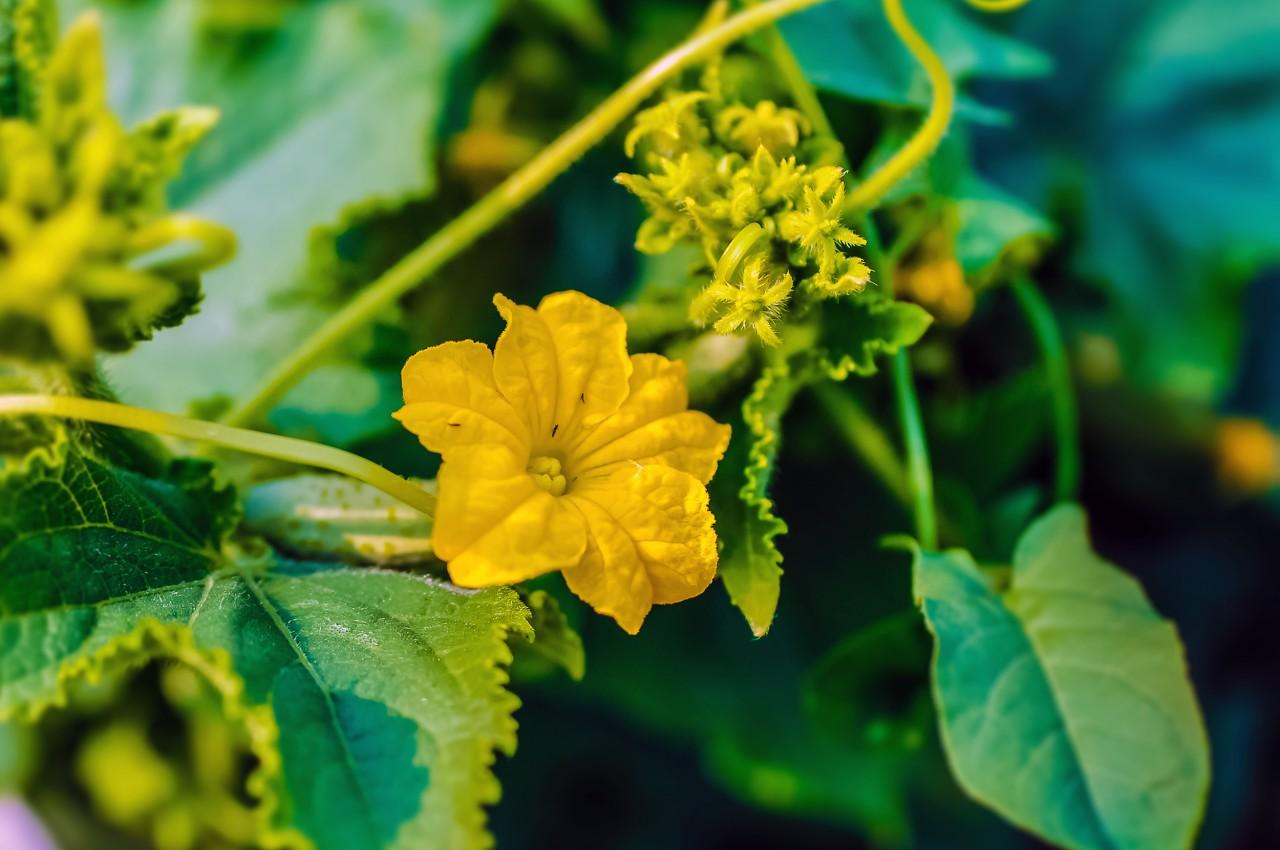 Из каких плодов огурца мужских или женских выбирать семена 91