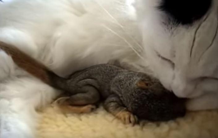 Кошка нашла осиротевших бельчат и сразу поняла, что нужно делать