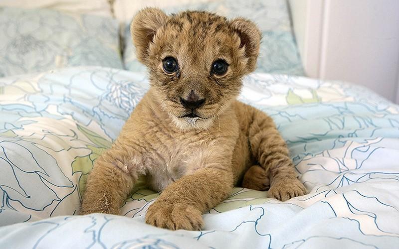 Запредельно милые котята диких кошек