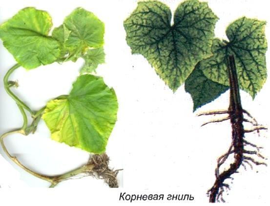 """""""Скорая помощь"""" для огурцов: профилактика и лечение болезней"""