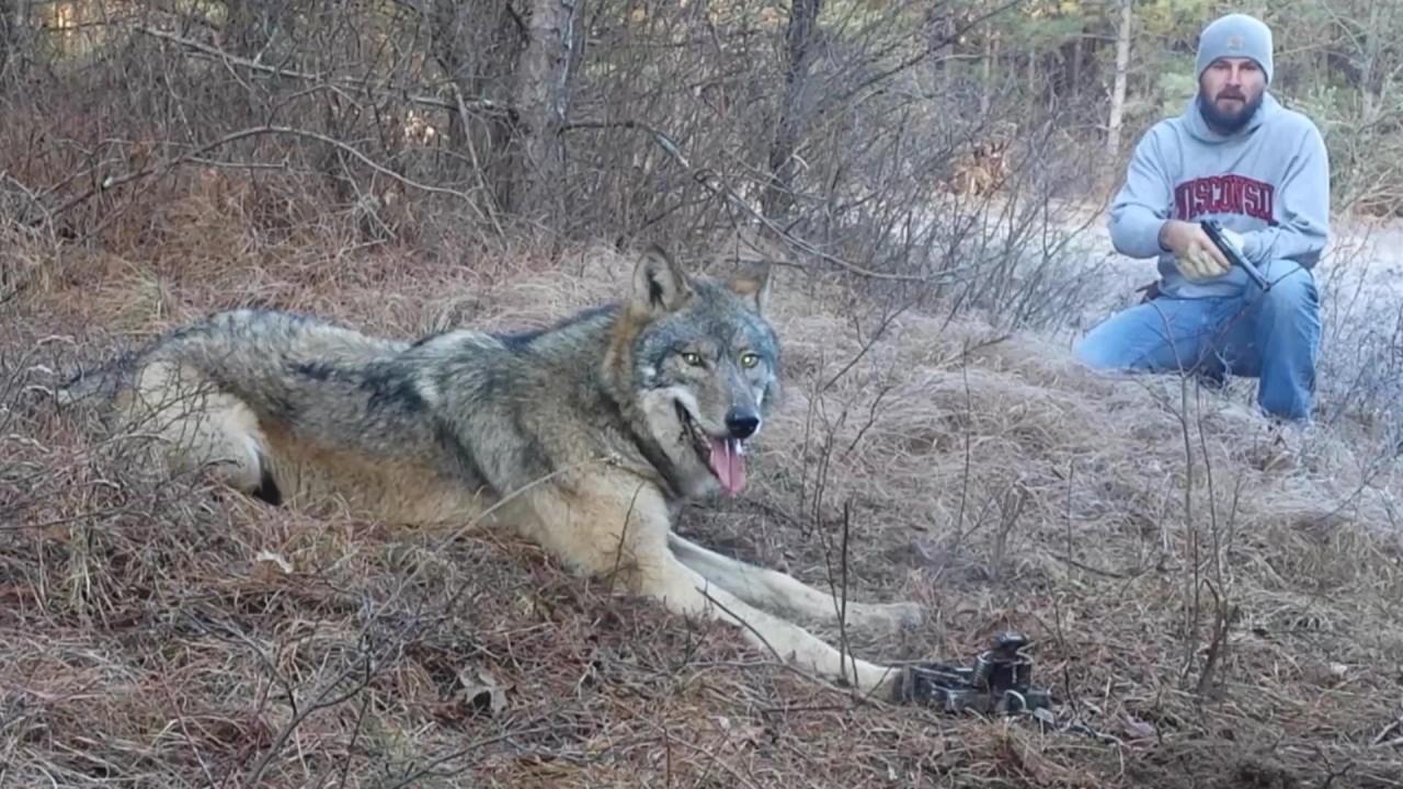 Как охотники спасали волка из капкана